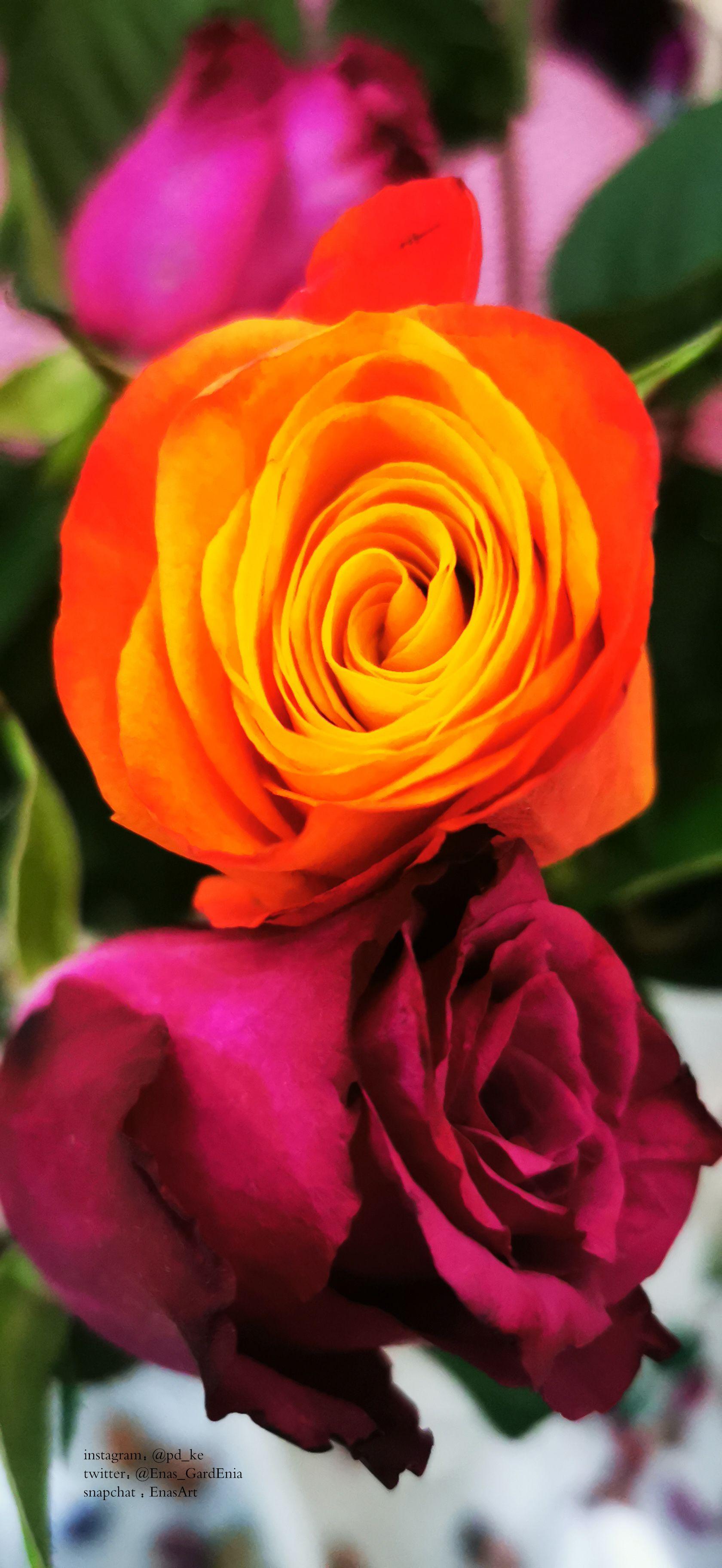 Instagram Pd Ke Twitter Enas Gardenia Snapchat Enasart Www Instagram Com Pd Ke تصويري ايناس الغاردينيا تصوير جوال تصوير السعود In 2020 Flowers Rose Plants