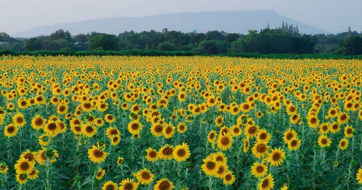 Taman Bunga Matahari Rajeg