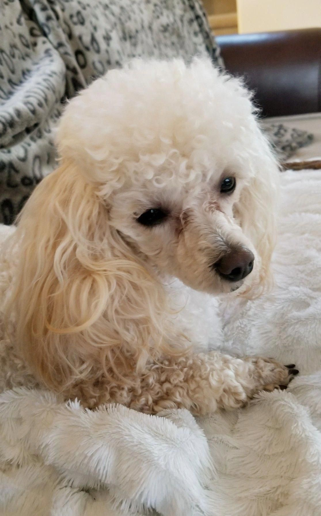 Pin By Kathy Strube On Poodle Grooming In 2020 Toy Poodle