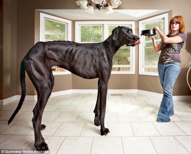 Owner Of Zeus The World S Tallest Dog Says Her Giant Canine Is