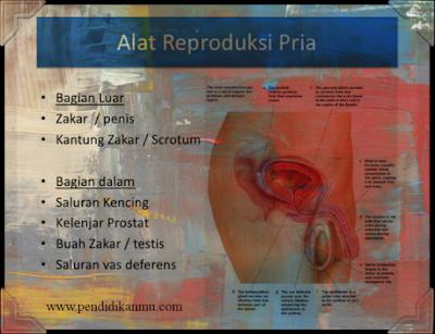 12++ Bagian bagian organ reproduksi pria inspirations