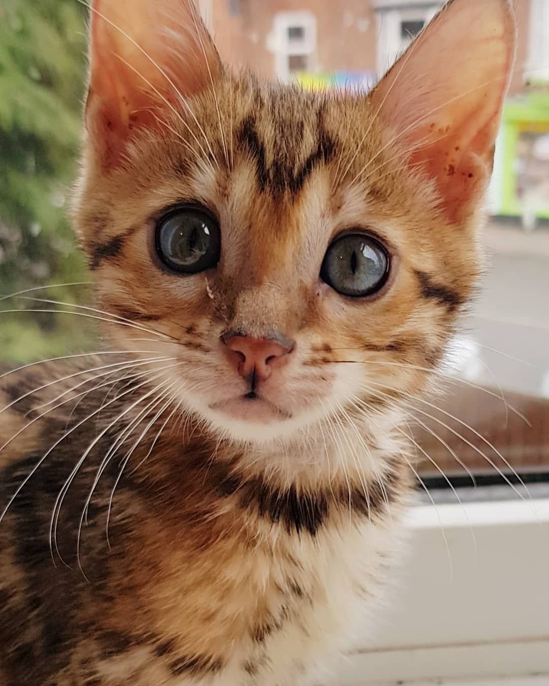 Beautiful Girl Innocent Face Bengal Cat Cats Cat Entertainment