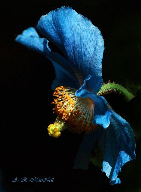 Blue ibiscus??