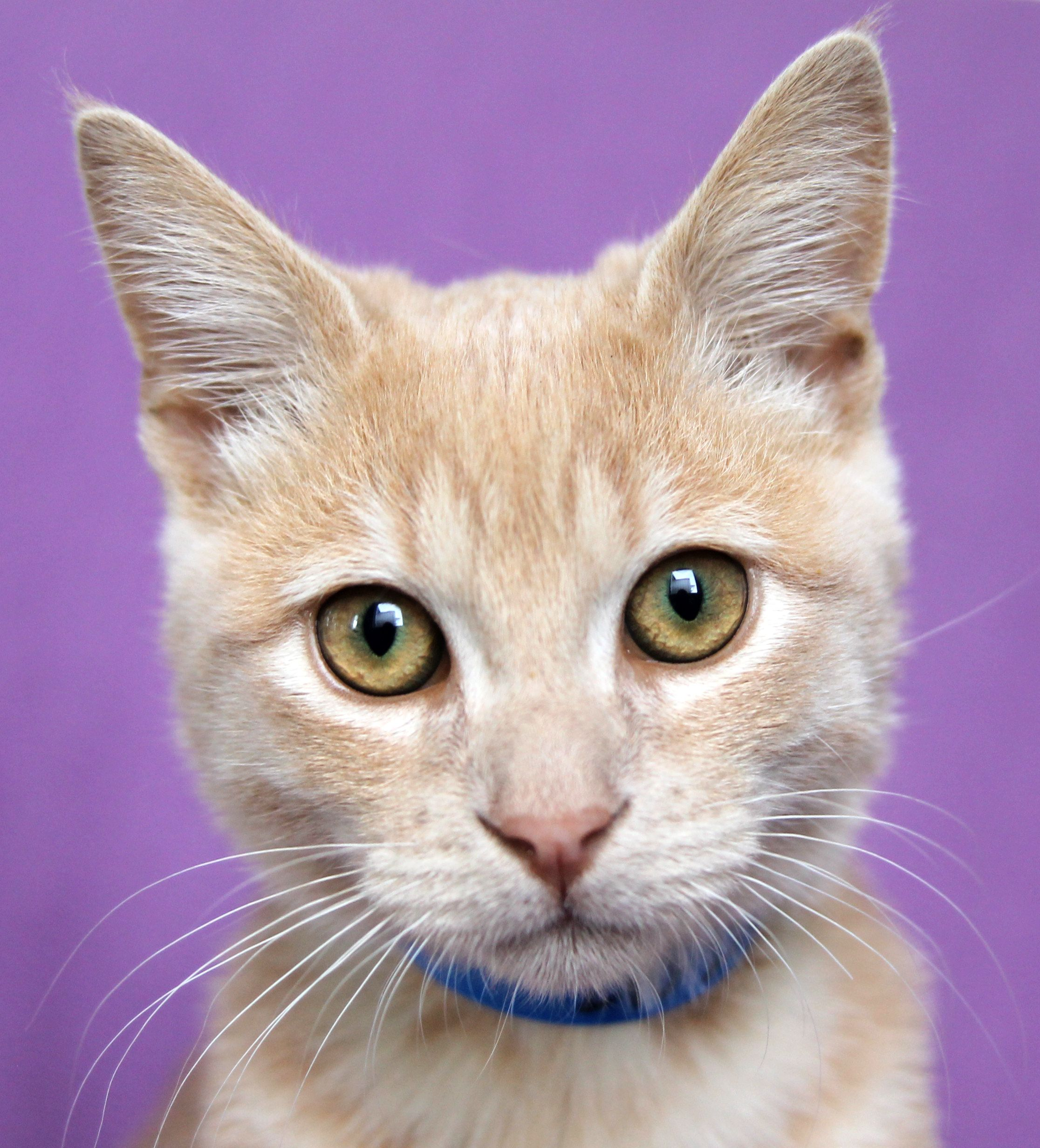 Pin By San Antonio Humane Society On Sahs Cats Orange Cats Cat Adoption Animals
