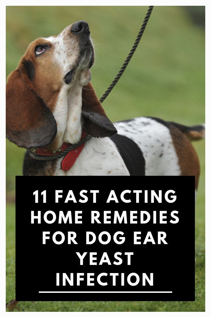 11 Natural Remedies For Dog Ear Yeast Infection Cure Ear Infections In Dogs Are Mostly Cause Dog Yeast Infection Ear Yeast Infection Treatment Yeast Infection