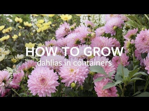 How To Grow Dahlias In Containers Grow At Home Royal Horticultural Society Youtube In 2020 Growing Dahlias Tatton Park Flower Show Dahlia