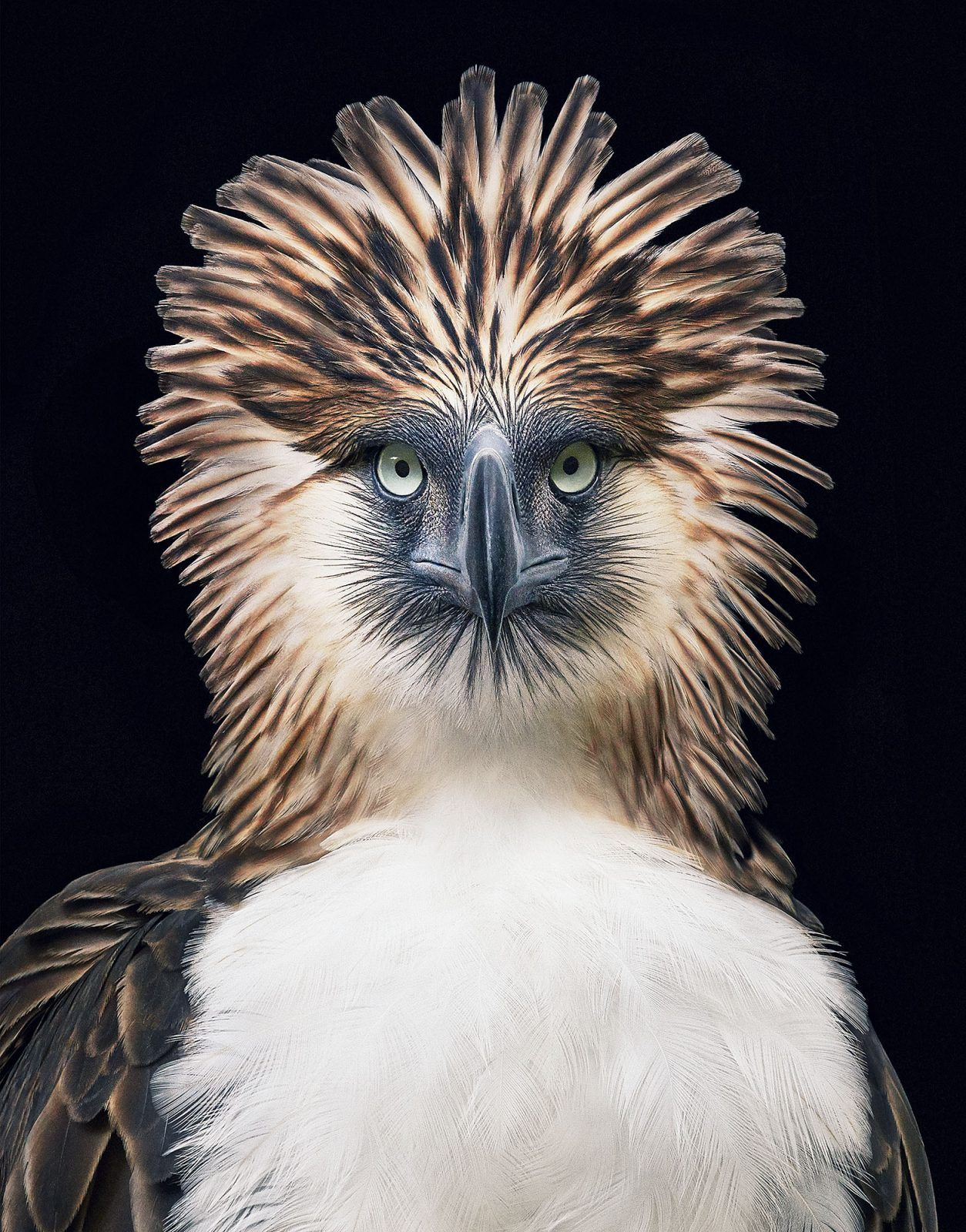 Philippine eagle. endangered Tim Flach (With images