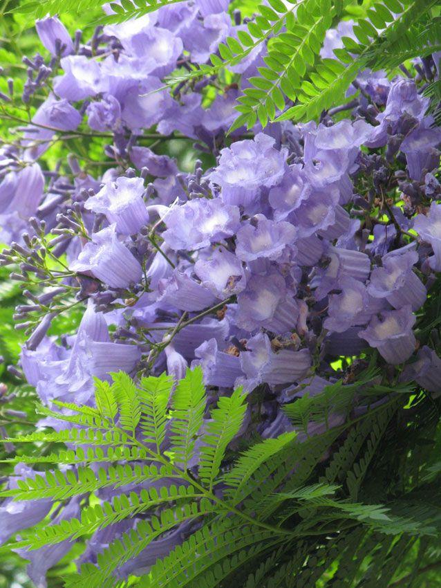 Palisanderbaum im regenwald  Jacaranda mimosifolia   Kwiaty, rośliny   Pinterest