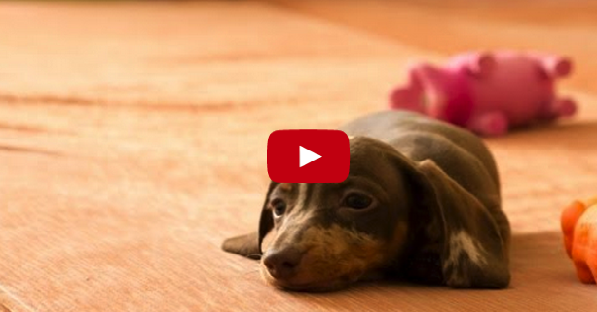 A Tiny Puppy Was Allowed On The Bed For The First Time! Look What He Did!