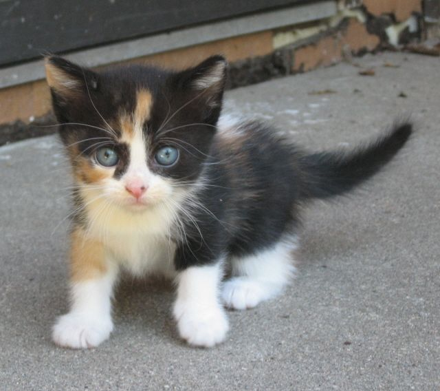 Calico Kitten Who I Will Name Pixie Calico Kitten Kittens Cutest Cats And Kittens