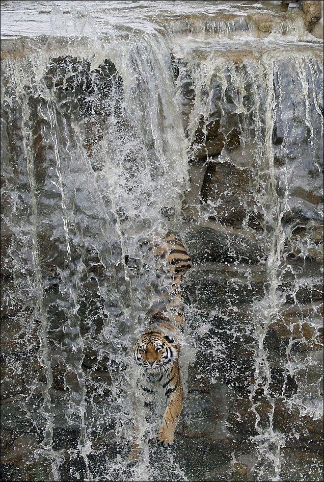 Tigre contra catarata, es ingenioso, al beber agua y bañarse y por supuesto divertirse con un refrescante baño en una catarata. Para él no existen los obstáculos.