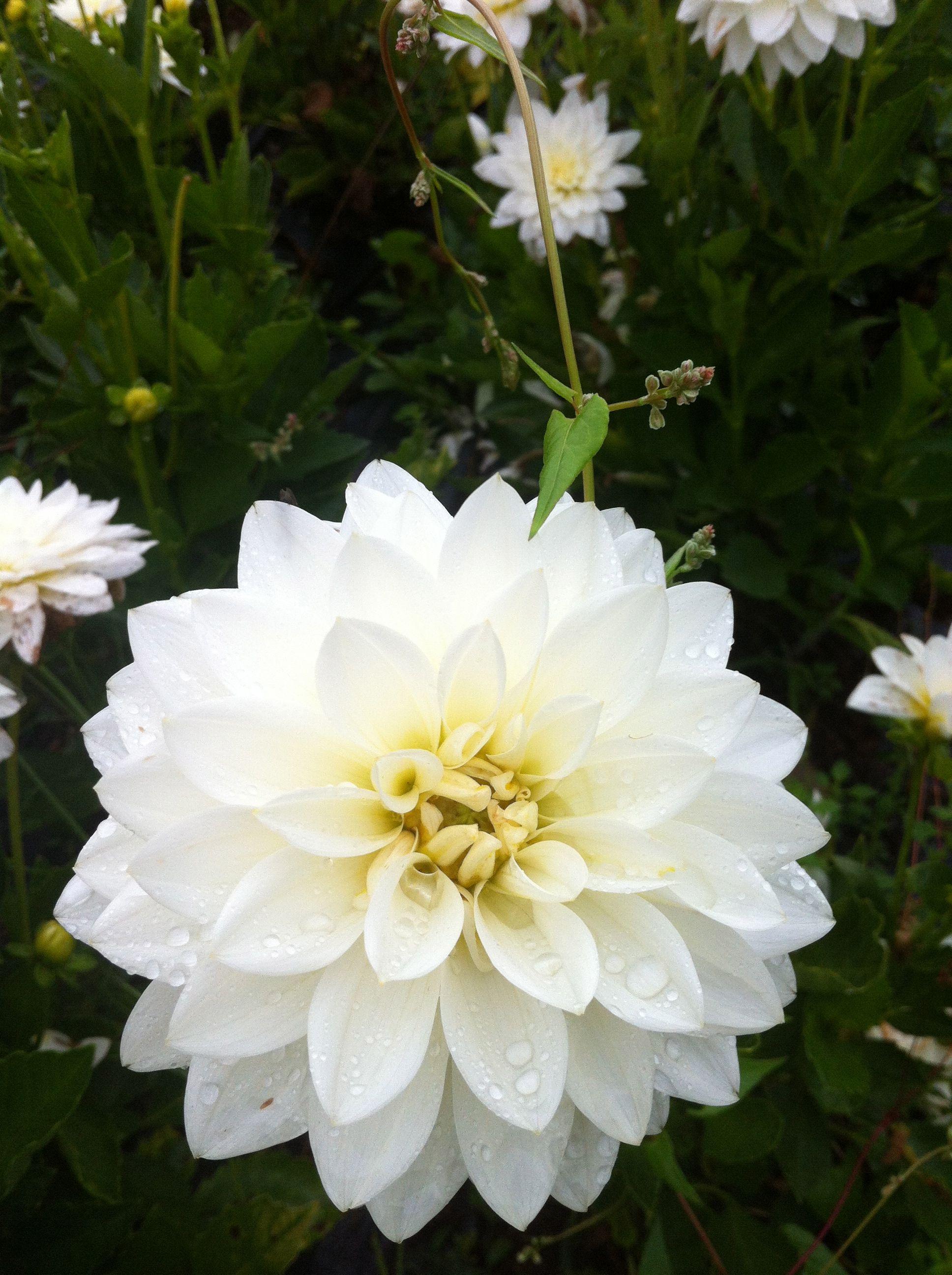 Seranade dahlia white with touch of yellow august flowers on seranade dahlia white with touch of yellow mightylinksfo Gallery