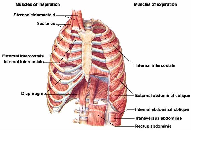 anatomy of diaphragm muscle - Google Search   ANATOMY   Pinterest ...