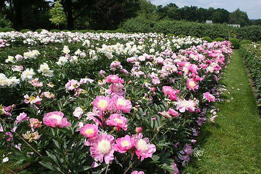 Martha S Peony Garden Peonies Garden Farmgirl Flowers Flower Farm