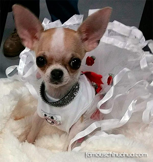 pixie the famous chihuahua! Chihuahua, Long haired