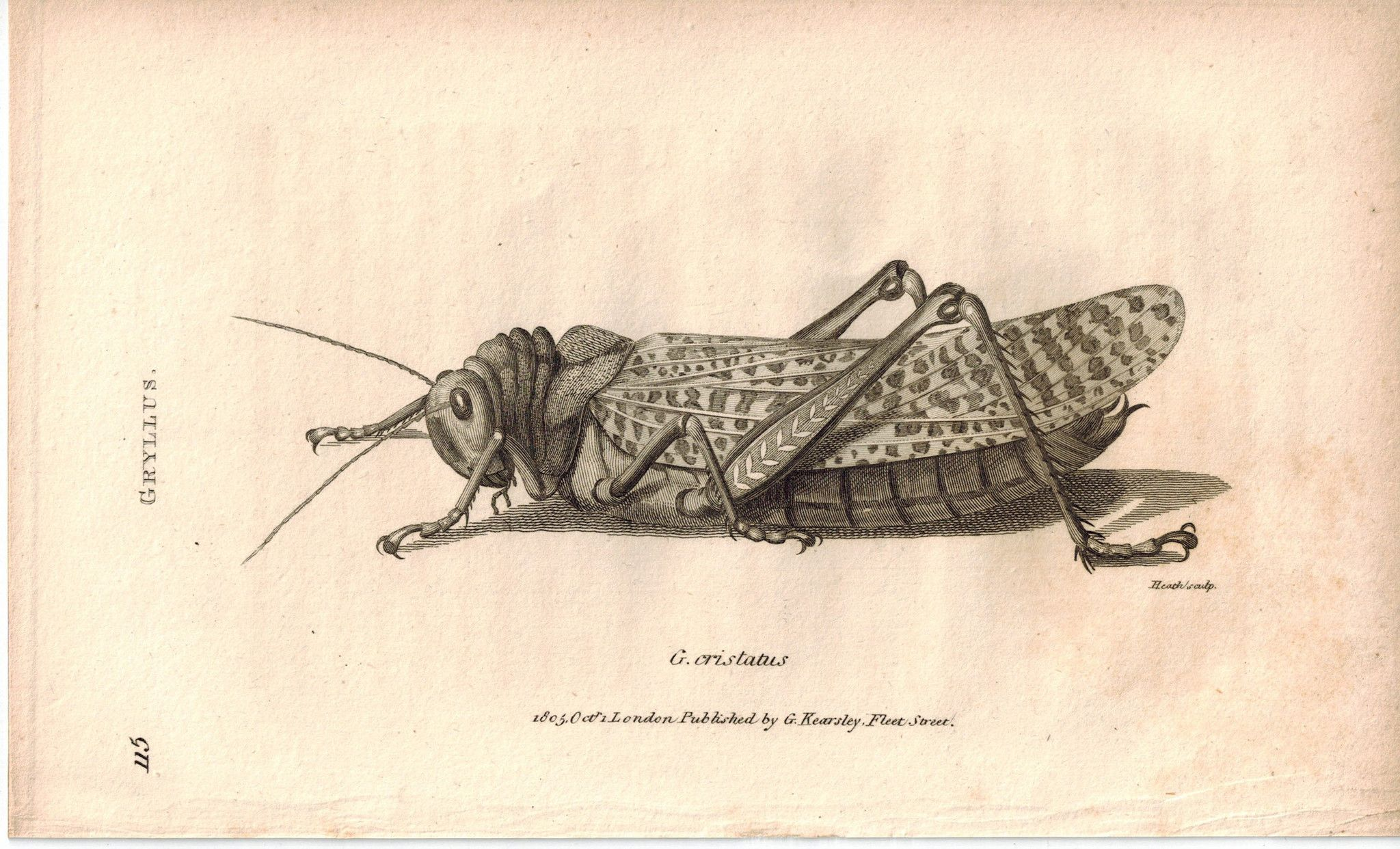 Gryllus Field Cricket Grasshopper Insect 1809 Original Engraving Print By Shaw Insects Insect Print Cricket Insect