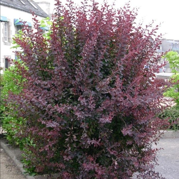 berb ris de thumberg 39 atropurpurea 39 pinterest arbuste. Black Bedroom Furniture Sets. Home Design Ideas