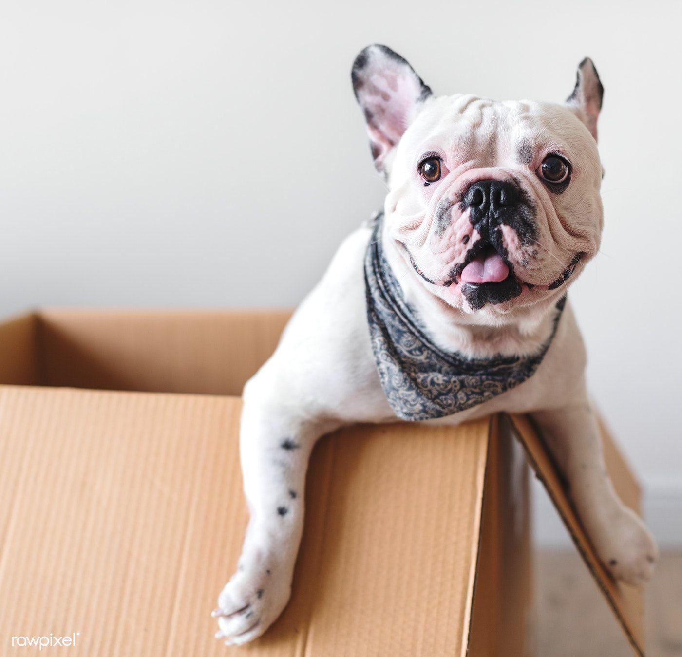 Download premium photo of Closeup of French bulldog 385679