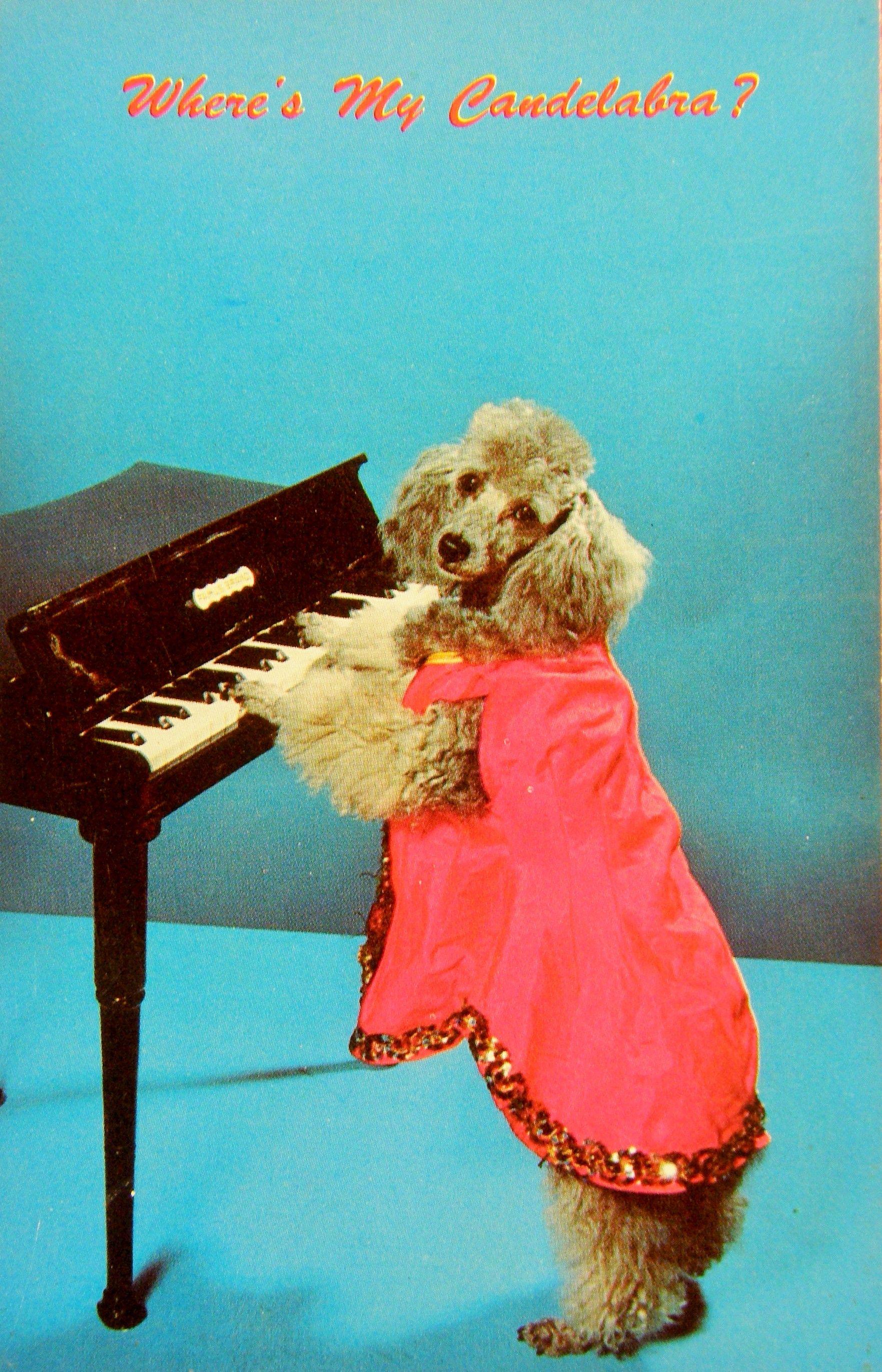 Caniche qui joue du piano. Animaux Sauvages, Cartes Postales, Chien, Piano,