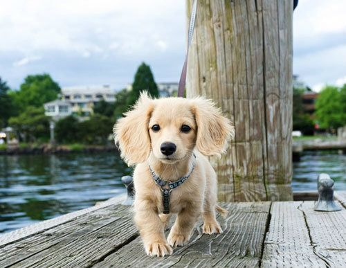 Longhaired Miniature Dachshund Dachshund Breed Dachshund Puppy Long Haired Long Haired Miniature Dachshund
