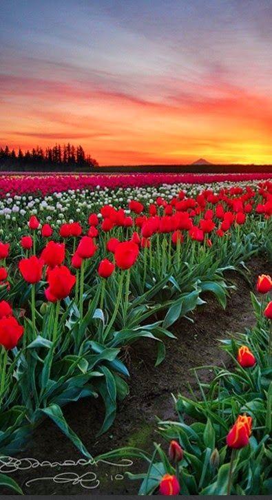 Wooden Shoe tulip fields in Woodburn, Oregon