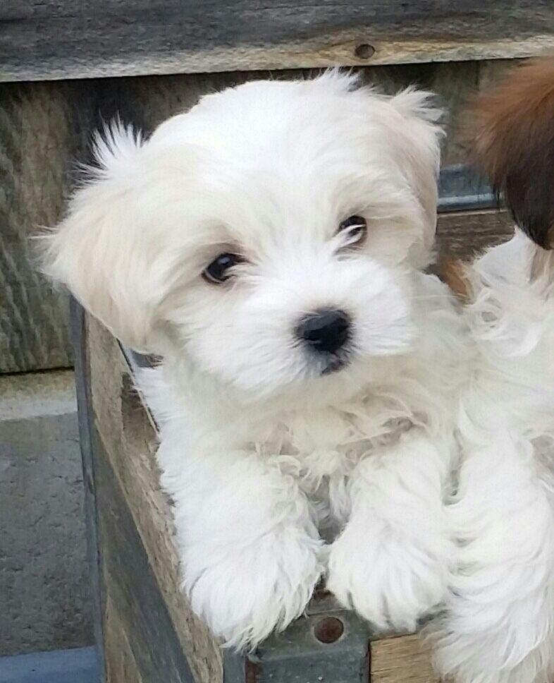 Bailey 8 Weeks Old Havanese Havanese Every Dog Breed Cute Dogs