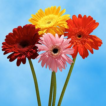 20 Gerbera Flowers For Sale In 2020 Flowers For Sale Gerbera Flower Gerbera