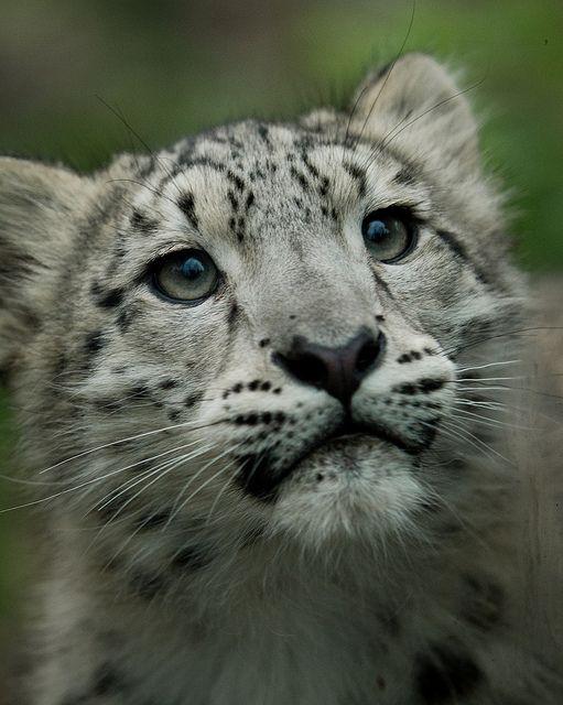 Snow Leopard Cub by JasonBrownPhotography, via Flickr