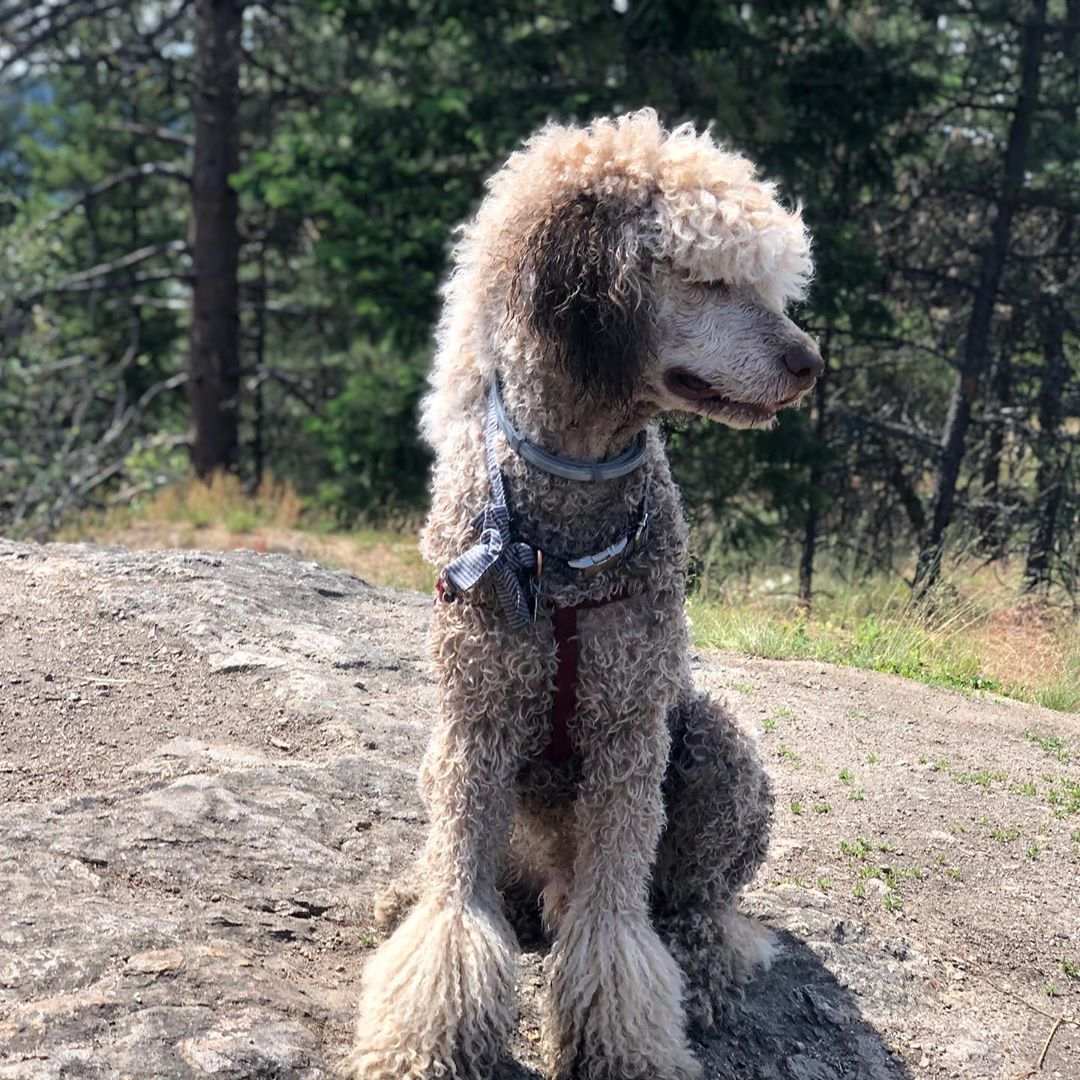 Had a fun hike and swim. . . . . #poodleoftheday #poodle #poodlesofinstagram #standardpoodlesofinstagram #standardpoodle #poodlepuppy #pup #puppies_of_instagram #puppy #dogsofinstagram #dogoftheday #dogphotog #photography #photooftheday #hiking #outdoors #pnw #pnwonderland #pnwonderdogs #pnwphotographer #washington #idaho #dogstagram #dogsthathike #swimming #swag #doggo