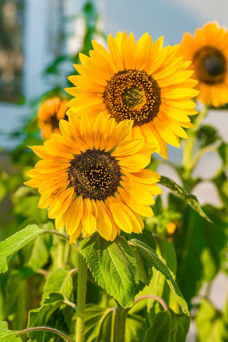 The 15 best annual flowers you need to plant in your yard gardens sunflowers are a classic annual flower that bloom in the late summer and early fall flowers decor diy wishlist inspiration love izmirmasajfo