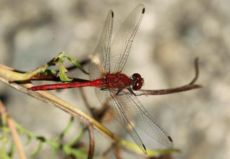 dragonflies soaring   Arboretum: Beggarticks and its Pollinators