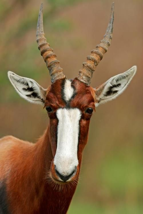 Bontebok are incredibly handsome creatures that are officially 'extinct in the wild.'Thebontebokis anantelopefound inSouth AfricaandLesotho.