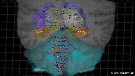 Gene map shows brain blueprint Human brain mapping and Brain - new blueprint gene expression