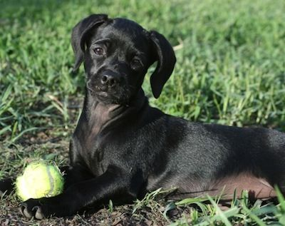 Chi Spaniel Dog Breed Information And Pictures Spaniel Dog Spaniel Spaniel Puppies