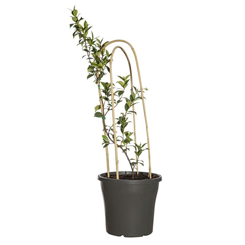250mm Star Jasmine Trachelospermum Jasminoides Bunnings Warehouse Trachelospermum Jasminoides Star Jasmine Ground Cover Plants