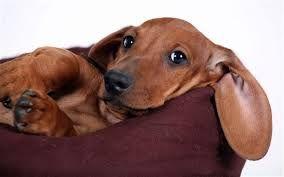 dachshund - Pesquisa Google