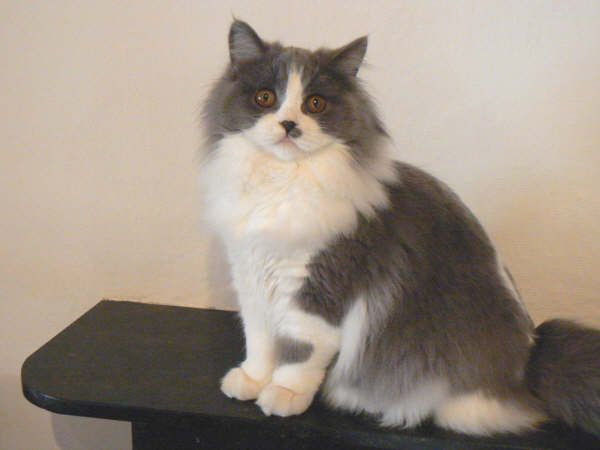 15  Most Popular Long Haired Cat Breeds | Cat and Animal