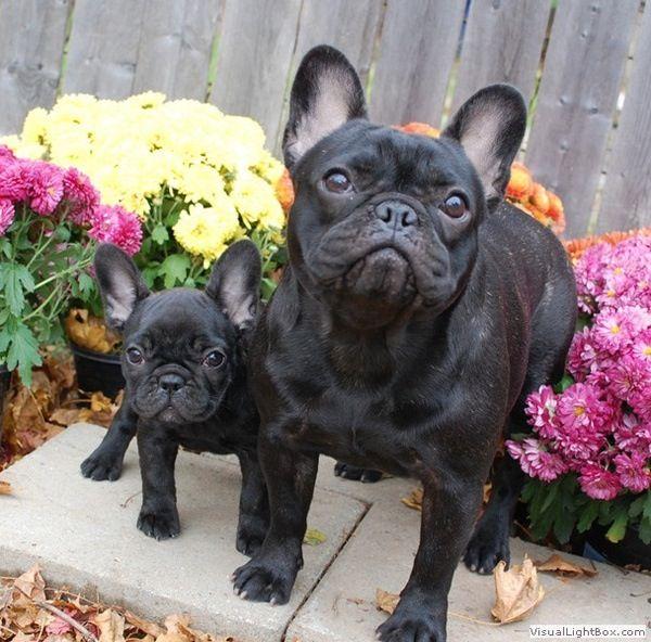French Bulldogs Franzosiche Bulldogge Franzosische Bulldogge