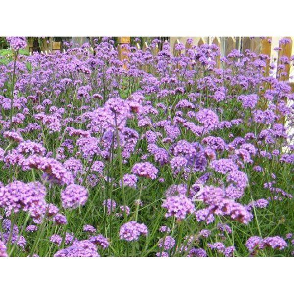 Wholesale 50pcs European Verbena Herb Bonariensis Purple Flower Garden Perennial Seeds