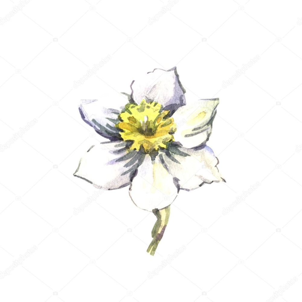 Download Watercolor Sketch Of Narcissus Stock Image In 2020 Watercolor Sketch Watercolor Daisy Tattoo Tattoo Graphic