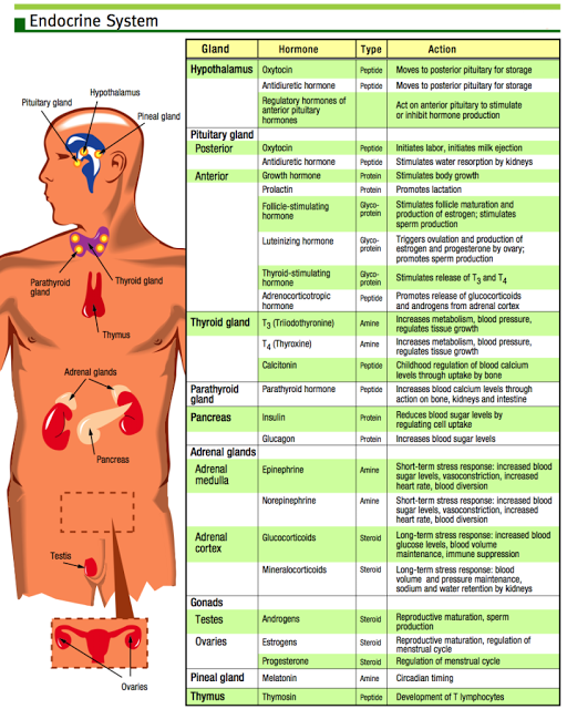 Hormone chart great visual aid when talking about energy medicine