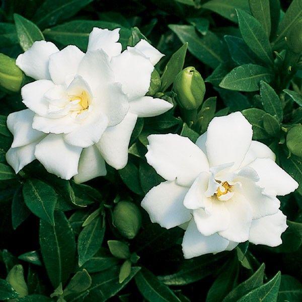 Gardenia Prostrata Gardenia Jasminoides Dwarf Night Bloomer