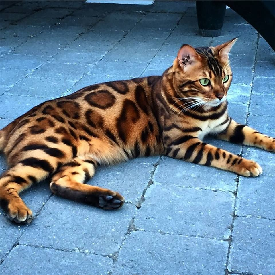 (3) Twitter Bengal Cat by Best Earth Pics cats