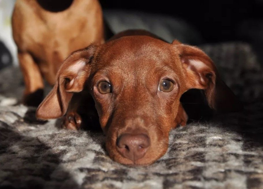 80 Funniest Dachshund Dog Names Dog names, Funny