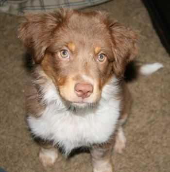 Ellie The Australian Shepherd Australian Heeler Hybrid Puppy At