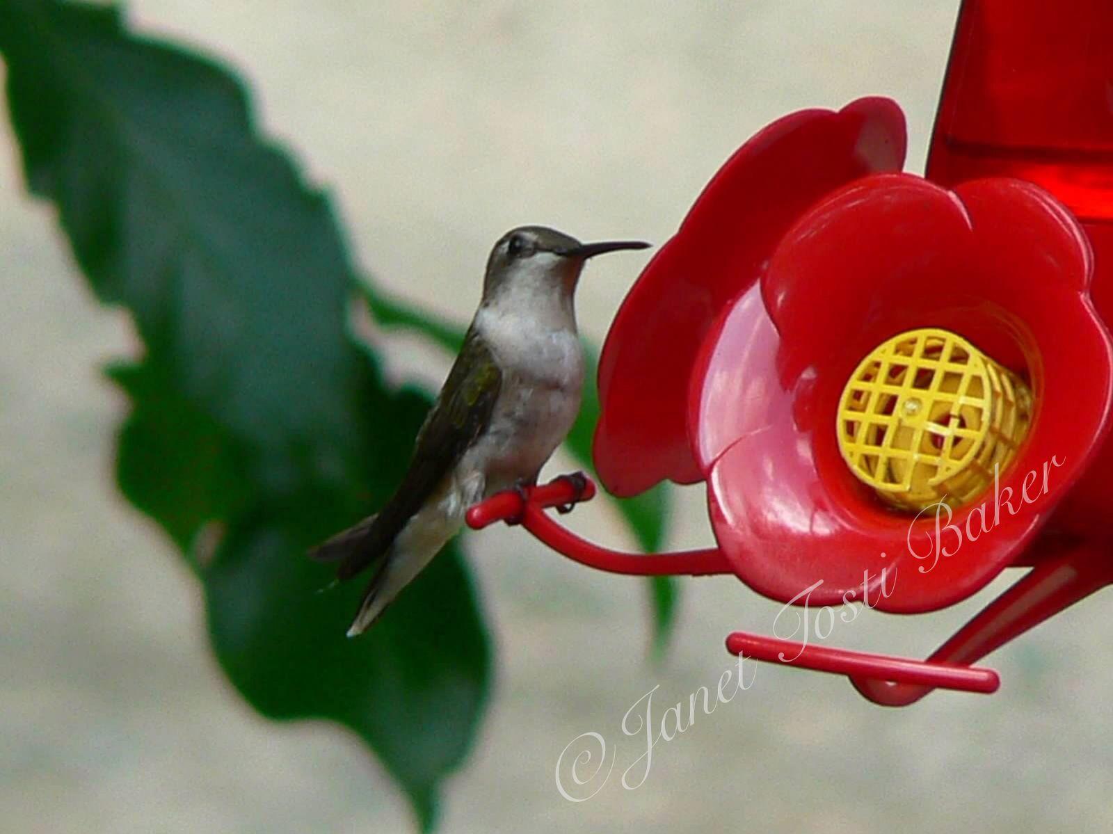 Hummingbird at the feeder in my yard  Lumix DMC-FZ5