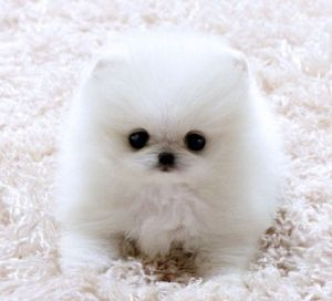 Baby White Pomeranian Puppies Cute Animal Pictures Cute Animals