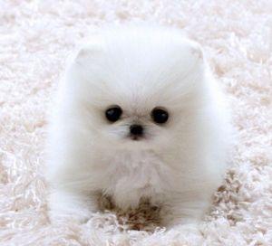 baby white pomeranian | The Animals I love most :) | Pinterest ...