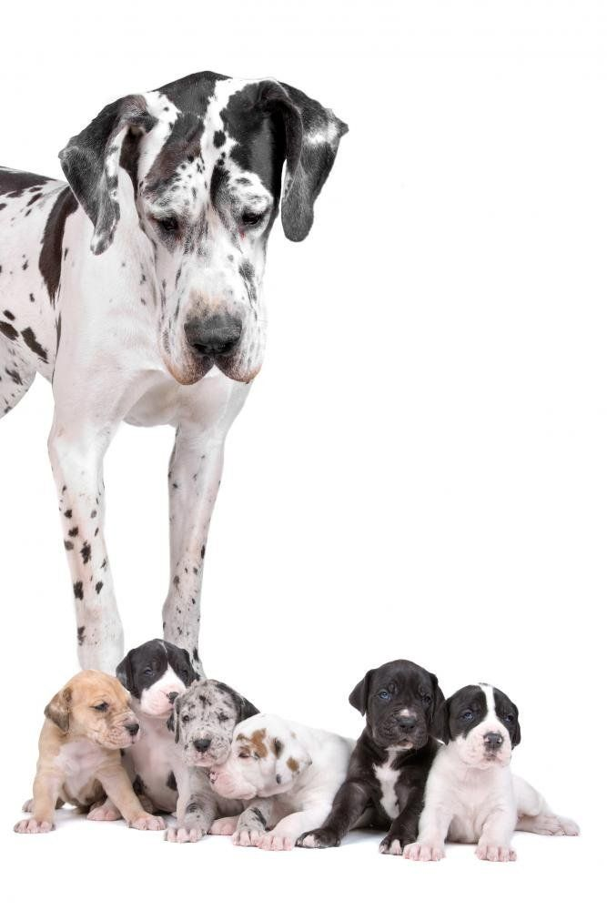 Wallmonkeys Great Dane Dog Peel And Stick Wall Decals Wm93092 36 In H X 24 In W Check This Awesome Image Dane Puppies Most Beautiful Dog Breeds Dane Dog