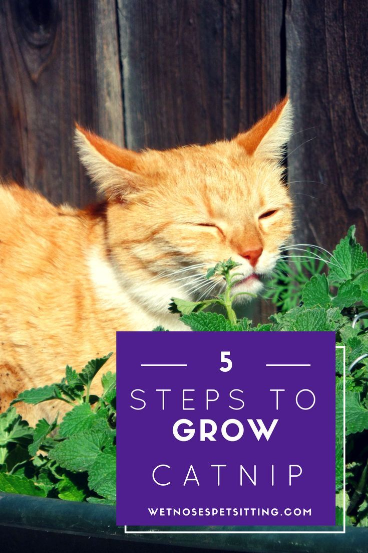 5 Steps to Start Growing Catnip Inside from Seeds! Cat